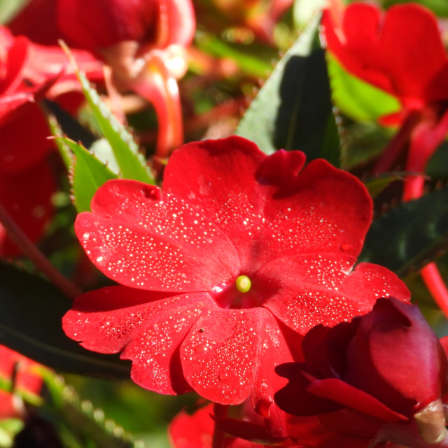 """""""Water Sprinkled Red Flower"""" stock image"""