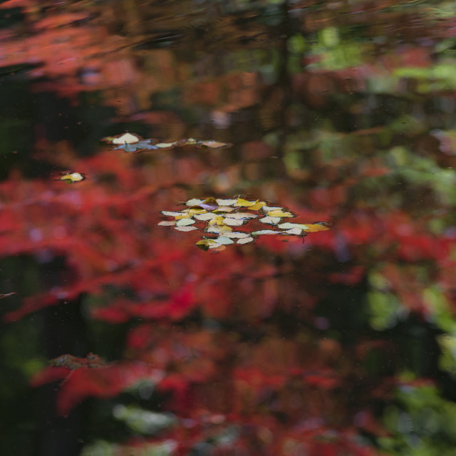 """""""LEAVES FLOAT ON COLORFUL REFLECTION IN POND, GA, USA"""" stock image"""