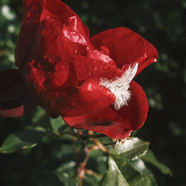 """Red Red Rose III"" stock image"