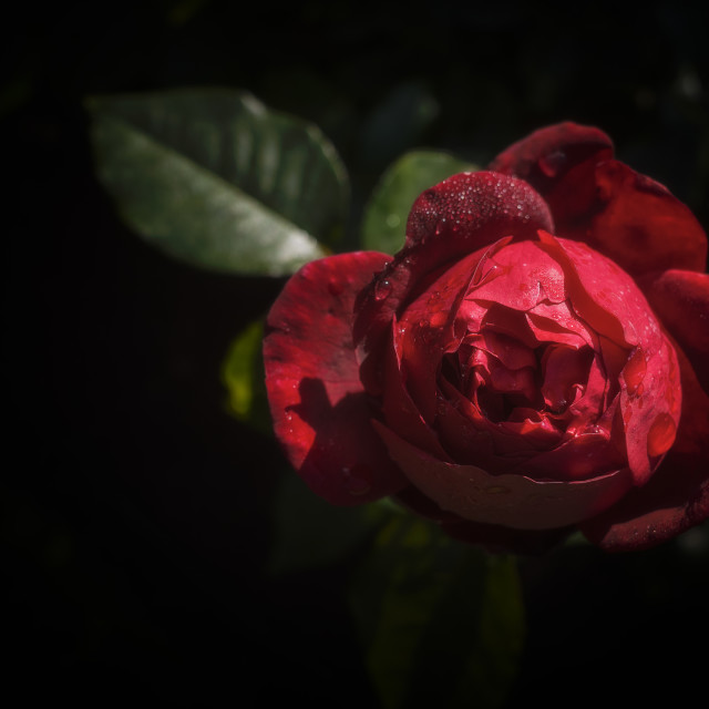 """Red Red Rose I"" stock image"