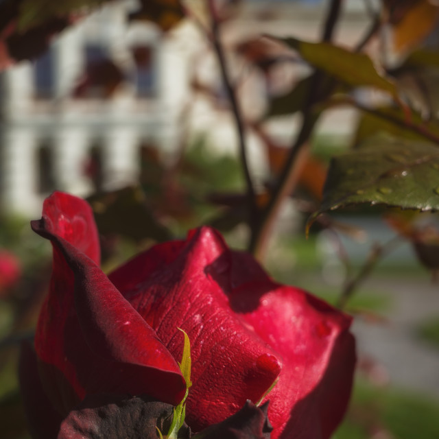 """Red Red Rose IV"" stock image"