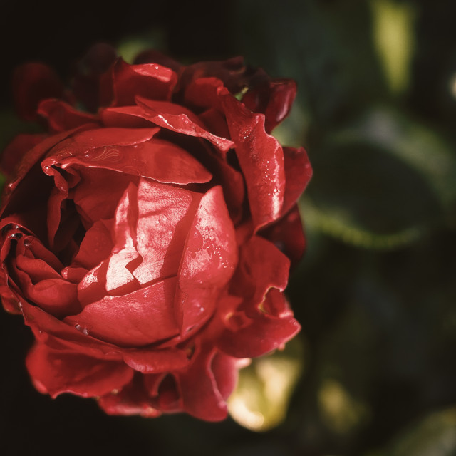 """Red Red Rose II"" stock image"