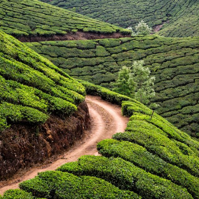 """TEA PLANTATION"" stock image"