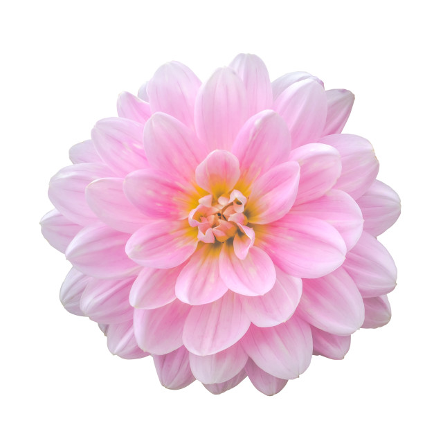 """Isolated Pink Dahlia Flower"" stock image"