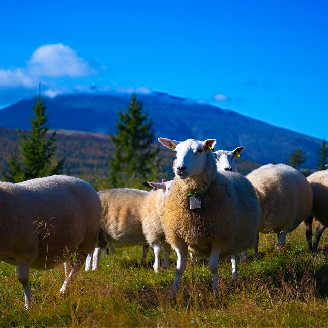 """""""Multiple sheep in front of mountain"""" stock image"""