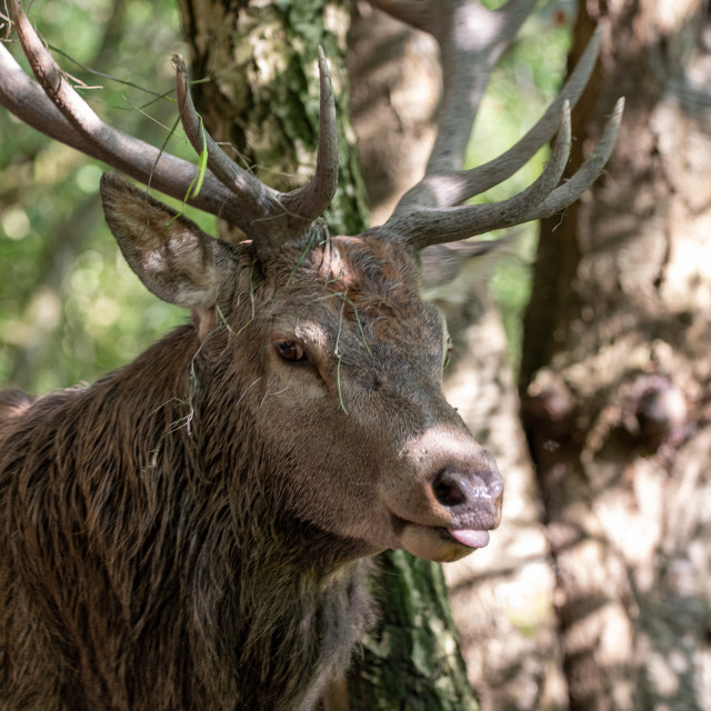 """Portrait of a Stag #2"" stock image"