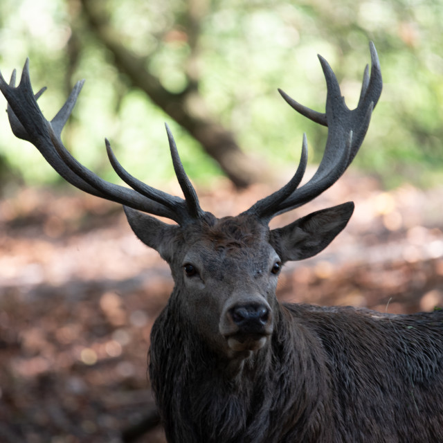 """Portrait of a Stag #3"" stock image"