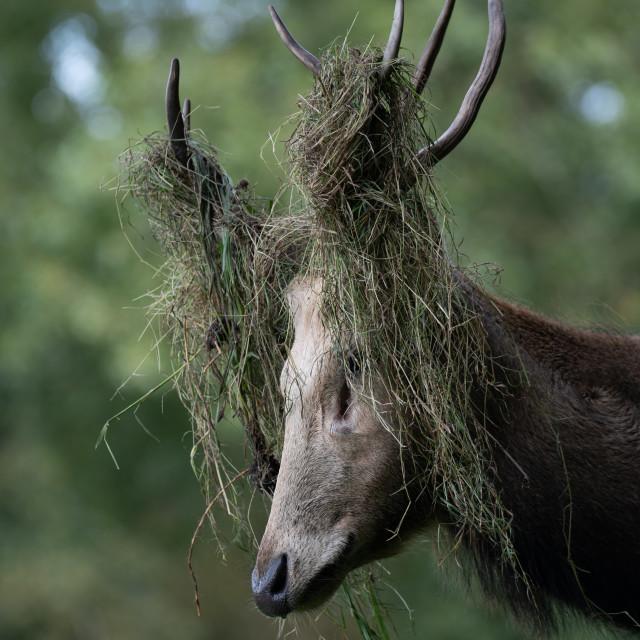 """""""Portrait of a Père David's Deer #2"""" stock image"""