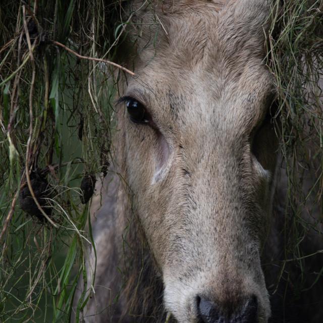 """""""Portrait of a Père David's Deer #3"""" stock image"""