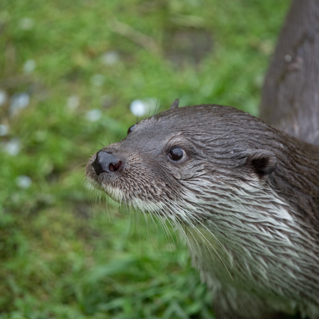 """Portrait of a European Otter #2"" stock image"
