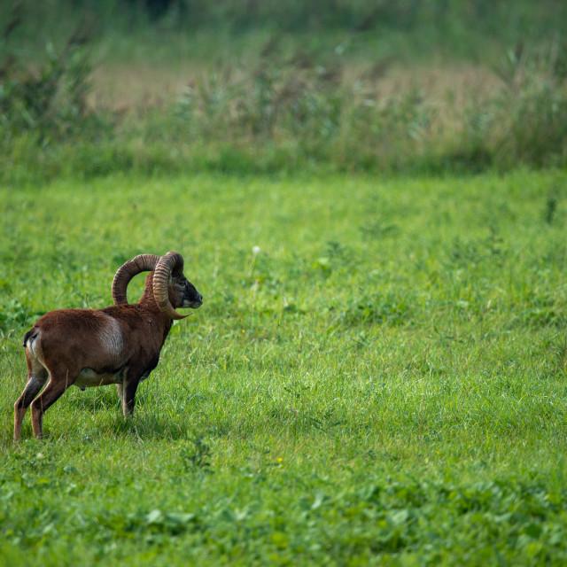 """Mouflon gazing into the distance"" stock image"