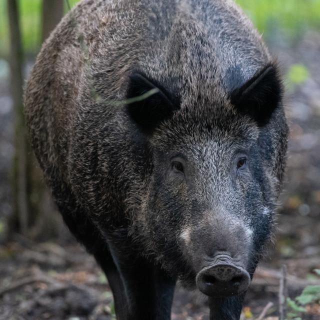 """Wild Boar"" stock image"