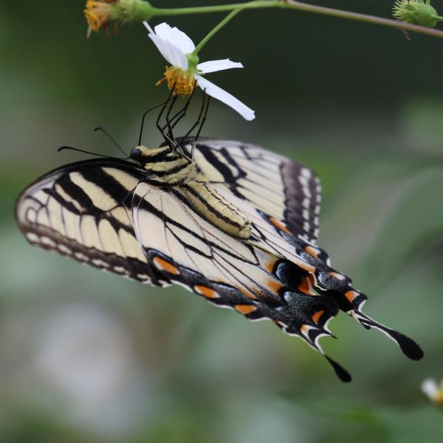 """Swallowtail"" stock image"