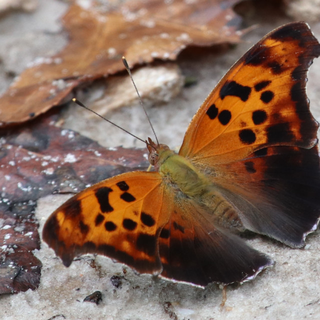 """""""Question mark Butterfly"""" stock image"""