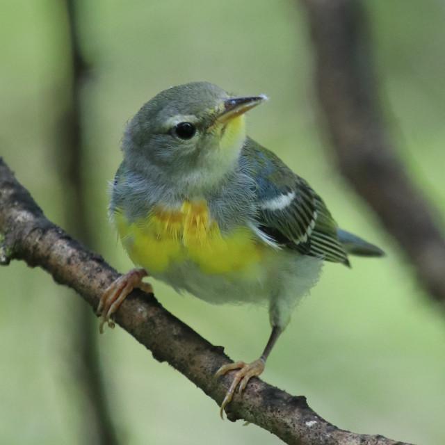 """Northern Parula warbler"" stock image"