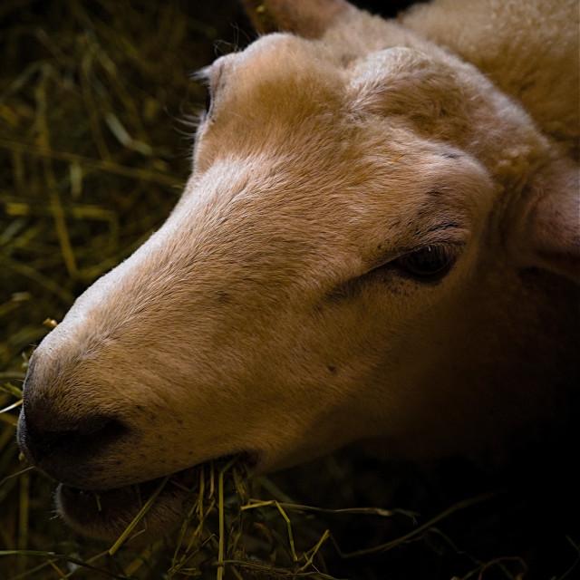 """Sheep in barn eating hay"" stock image"