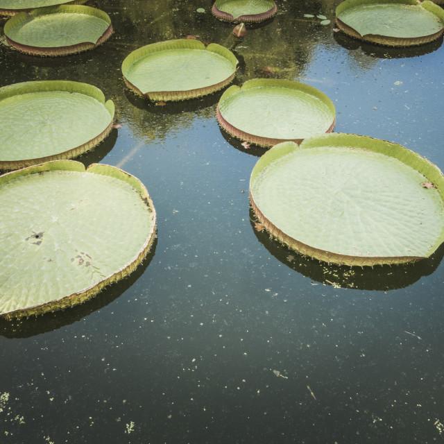 """""""Santa Cruz water lily, water platters"""" stock image"""