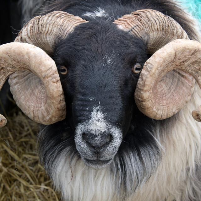 """""""Mayo Blackface Ram and Ewe Mountain sheep. Newport Market, County Mayo"""" stock image"""