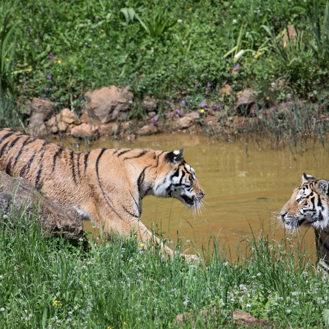 """Two tigers challenging each other with their gaze"" stock image"