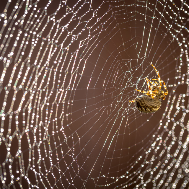 """""""Spider on web with raindrops"""" stock image"""