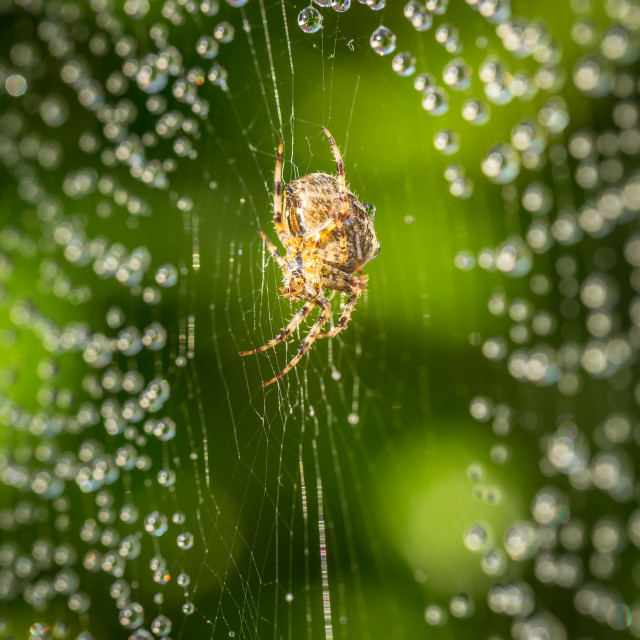 """Spider on web with raindrops"" stock image"