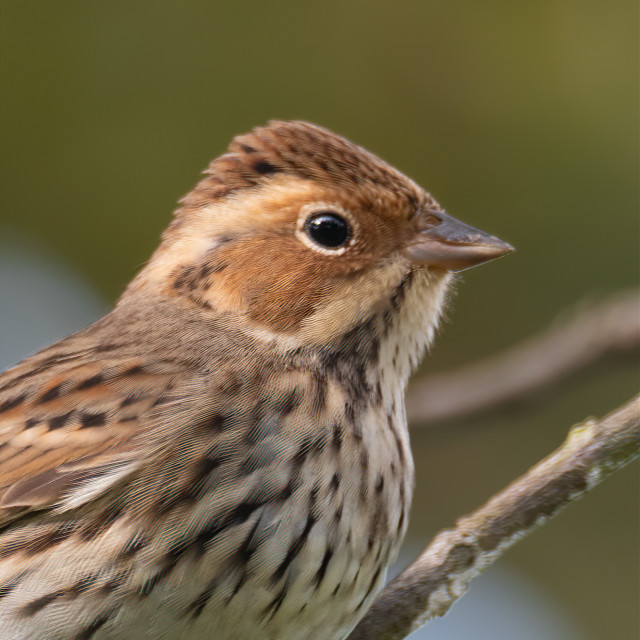 """""""Little Bunting"""" stock image"""