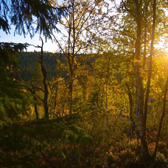 """Sunset shining through forest"" stock image"