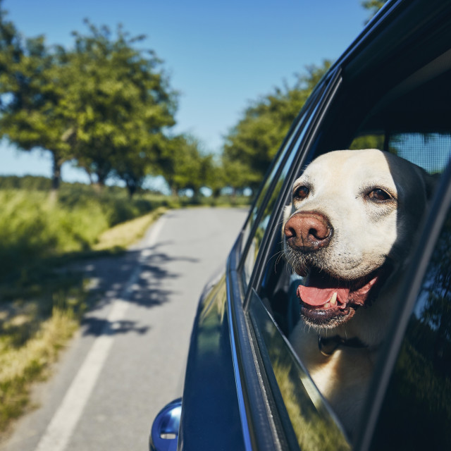 """""""Happy dog travel by car"""" stock image"""