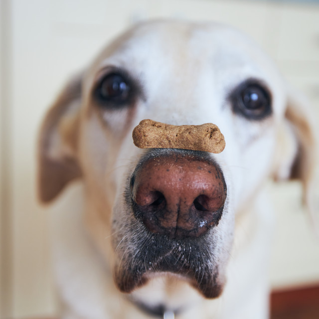 """""""Funny dog with biscuit"""" stock image"""