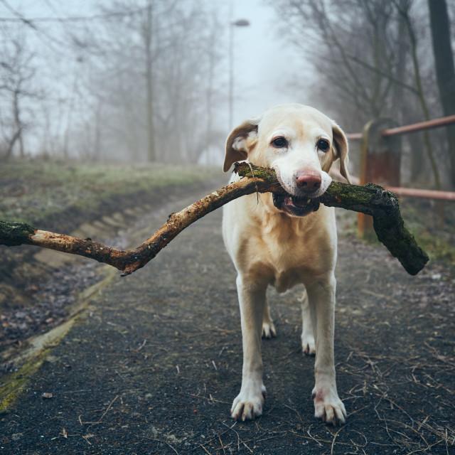 """Dog with stick on sidewalk against public park in fog"" stock image"