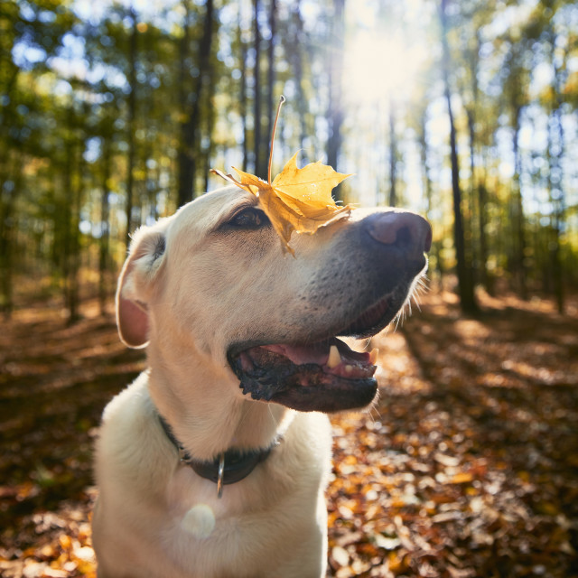 """""""Happy dog in autumn forest"""" stock image"""