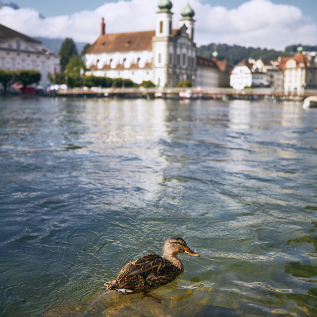 """""""Duck swimming in river against waterfront in Lucern"""" stock image"""