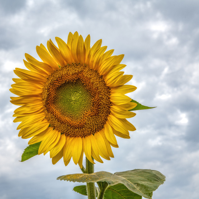 """Lone Sunflower"" stock image"