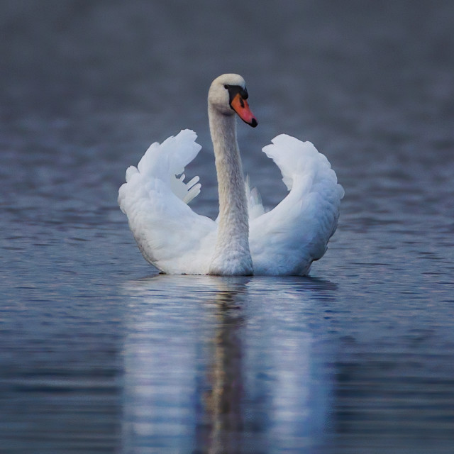 """Swan 5"" stock image"