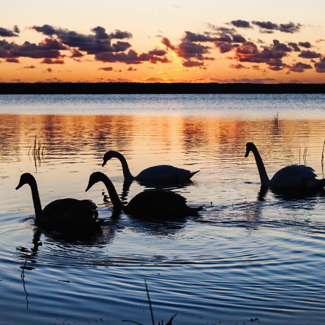 """""""swans sunrise"""" stock image"""
