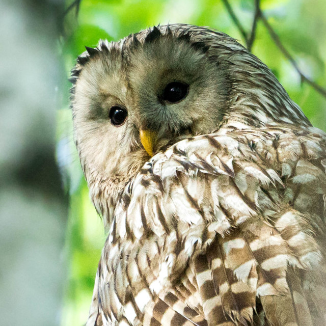 """""""The Ural owl"""" stock image"""