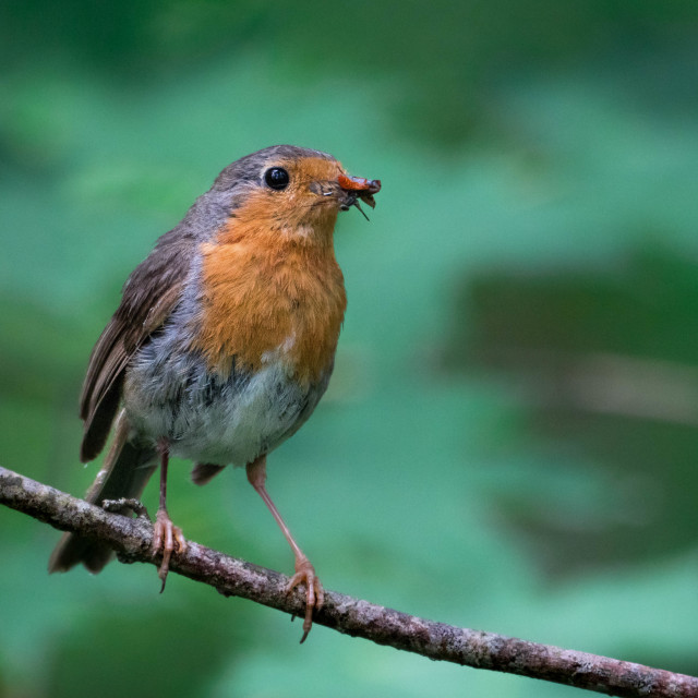 """The European robin"" stock image"