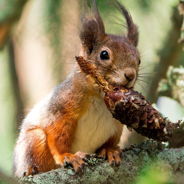 """""""Squirrel with a spruce cone"""" stock image"""