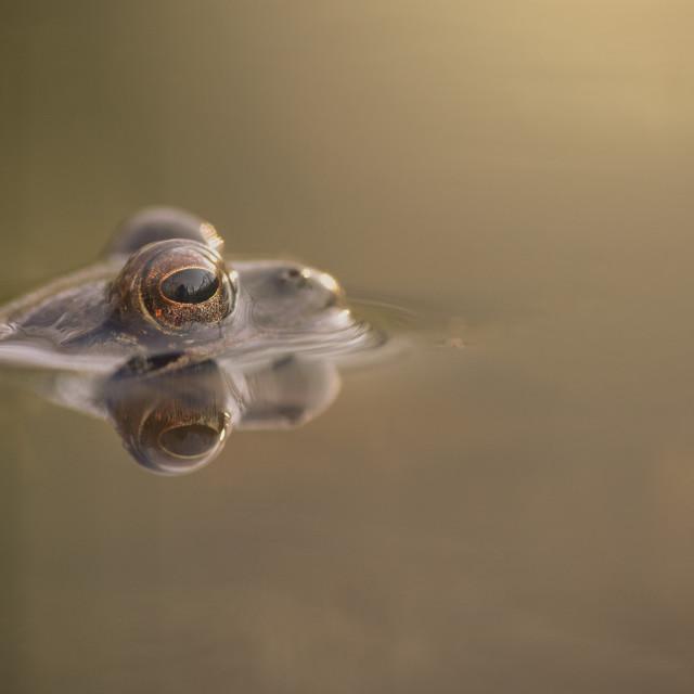 """""""Agile frog"""" stock image"""