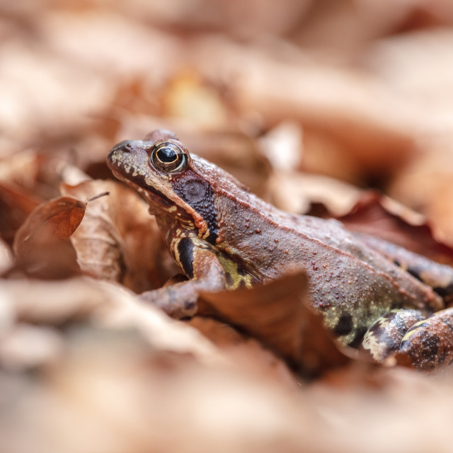 """Common frog"" stock image"