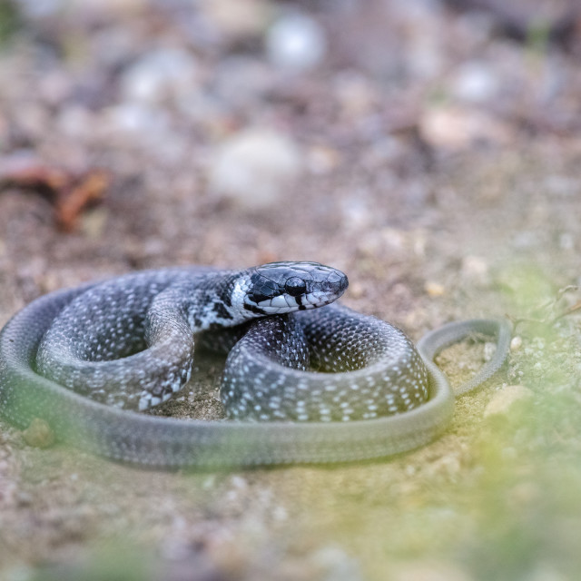 """Aesculapian snake"" stock image"