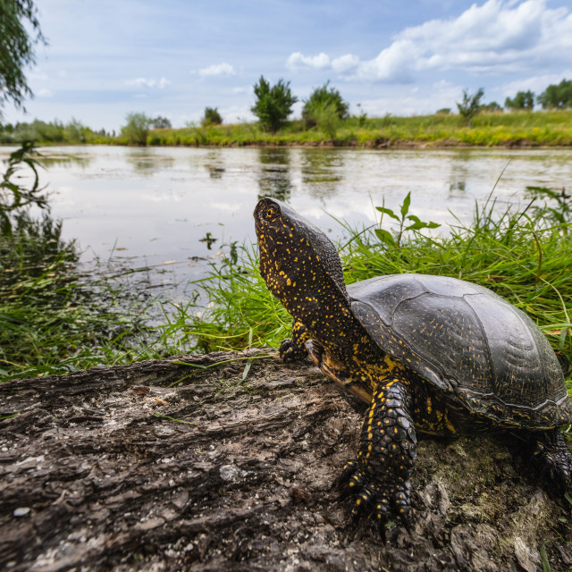 """European pond turtle"" stock image"