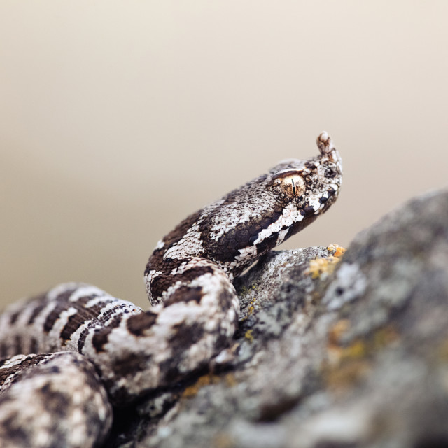 """Transdanubian nose-horned viper"" stock image"