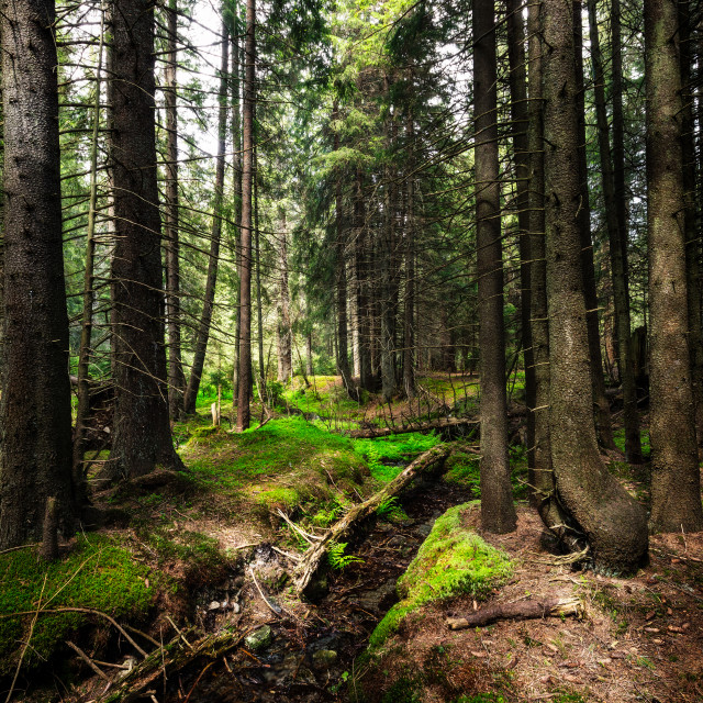 """Coniferous forest"" stock image"