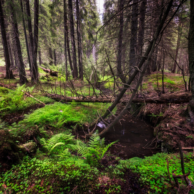 """Primeval forest"" stock image"