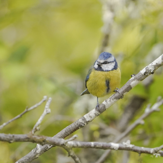 """""""Blue tit, Eurasian blue tit, Cyanistes caeruleus, during spring in a green forest."""" stock image"""