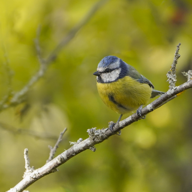 """""""Blue tit, bird in forest"""" stock image"""