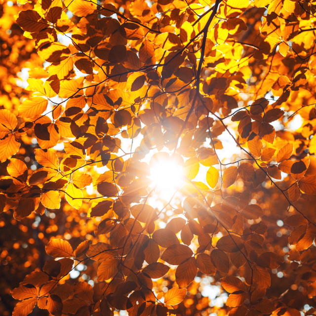 """""""Shining sun through a fresh yellow leaves of the maple tree in"""" stock image"""