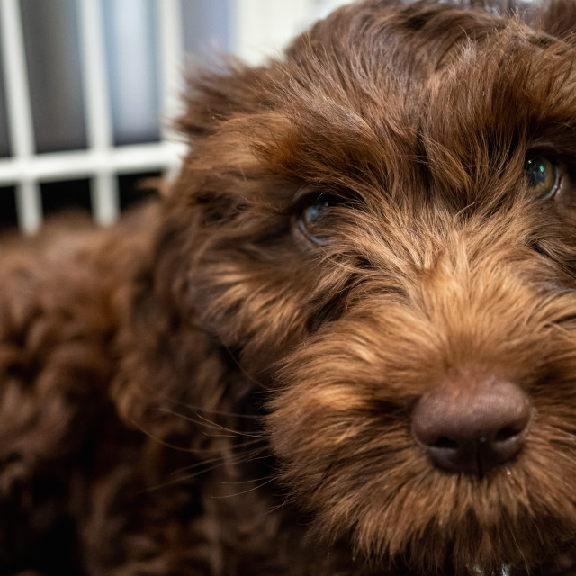 """Close-up of a Puppy"" stock image"