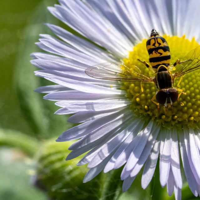 """Bug on Daisy"" stock image"
